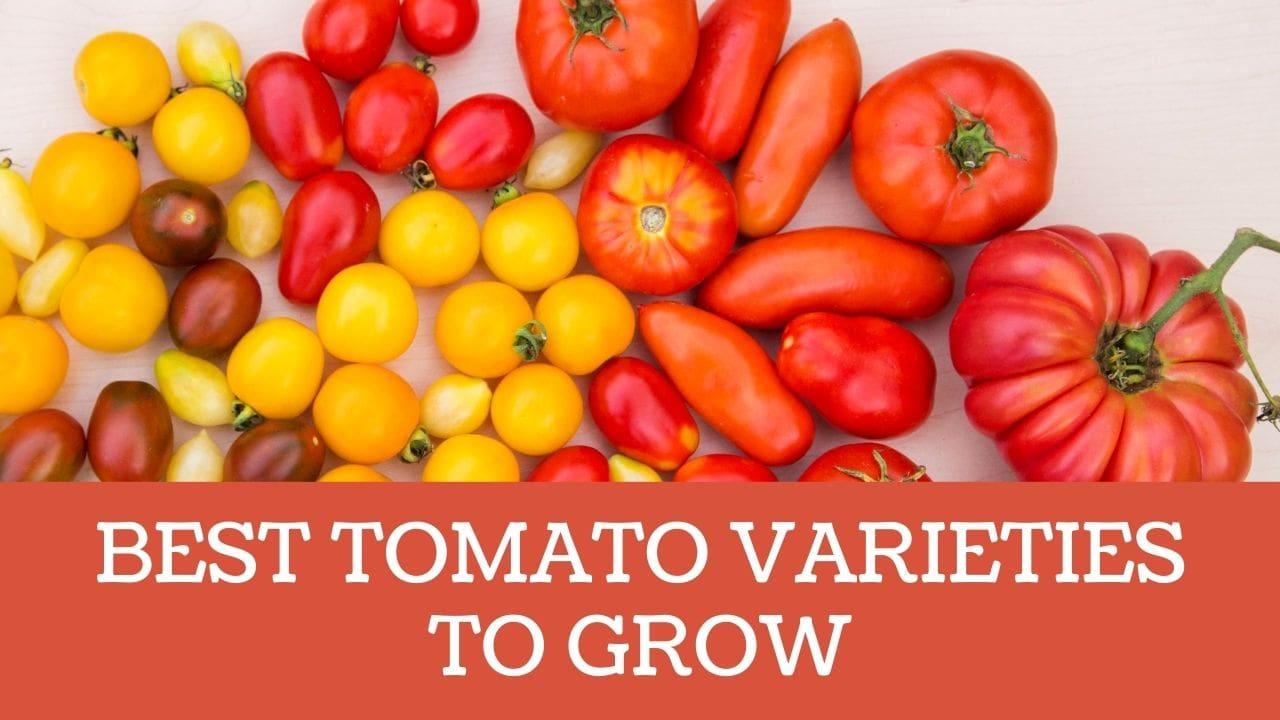 BEST TOMATO VARIETIES TO GROW