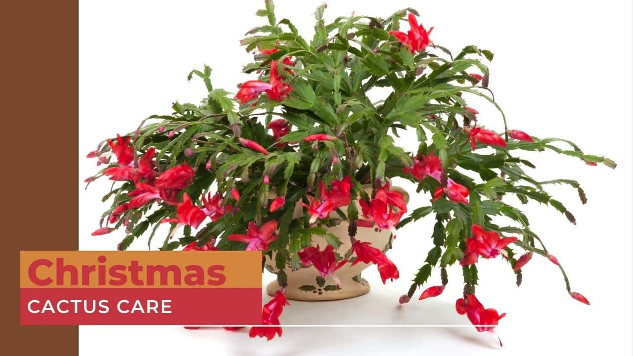 Christmas Cactus Care Instructions