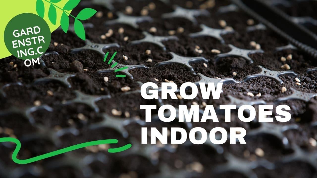 Grow tomatoes Indoor