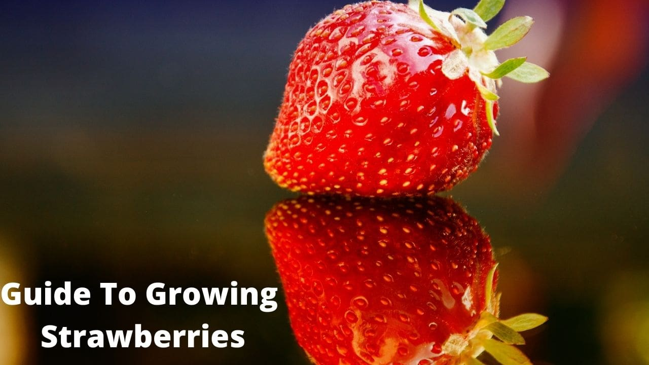 Guide To Growing Strawberries