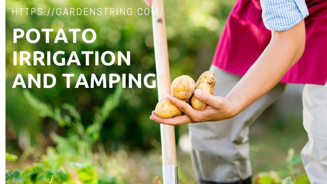 PotatoIrrigationand Tamping