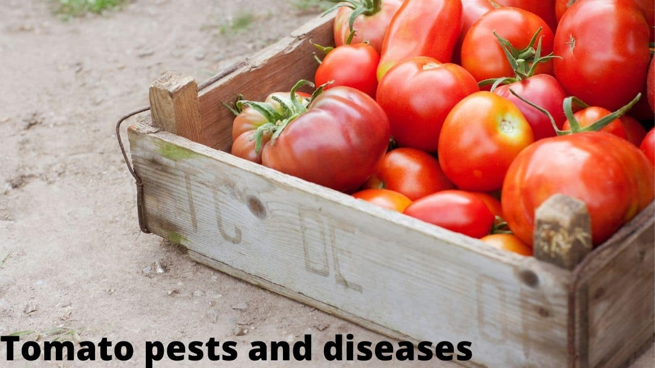 Tomato pests and diseases