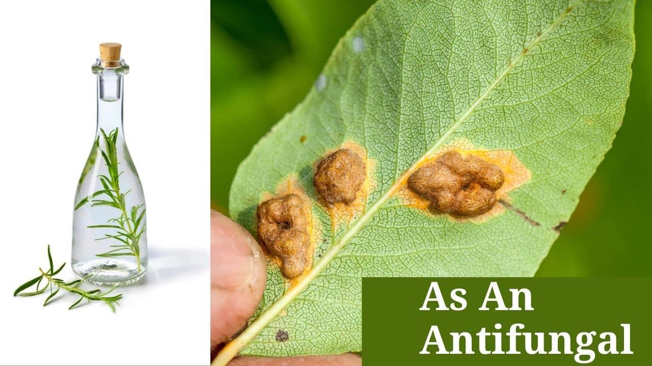 As An Antifungal