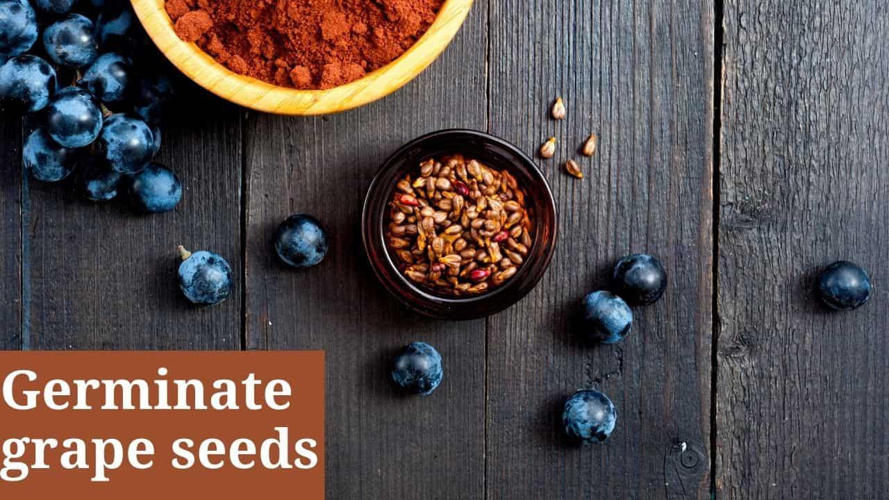 Germinate grape seeds