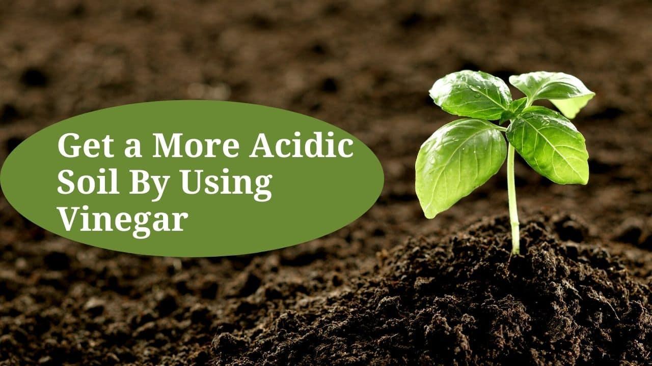Get a More Acidic Soil By Using Vinegar