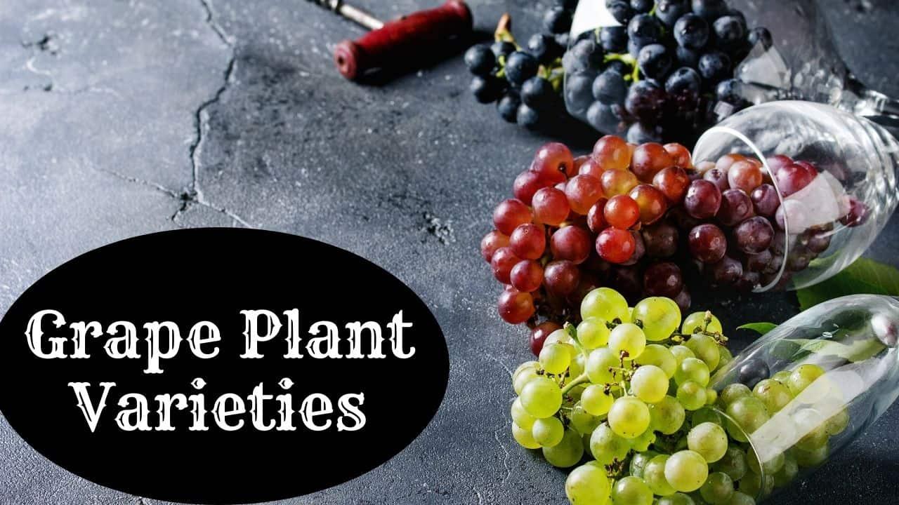 Grape Plant Varieties