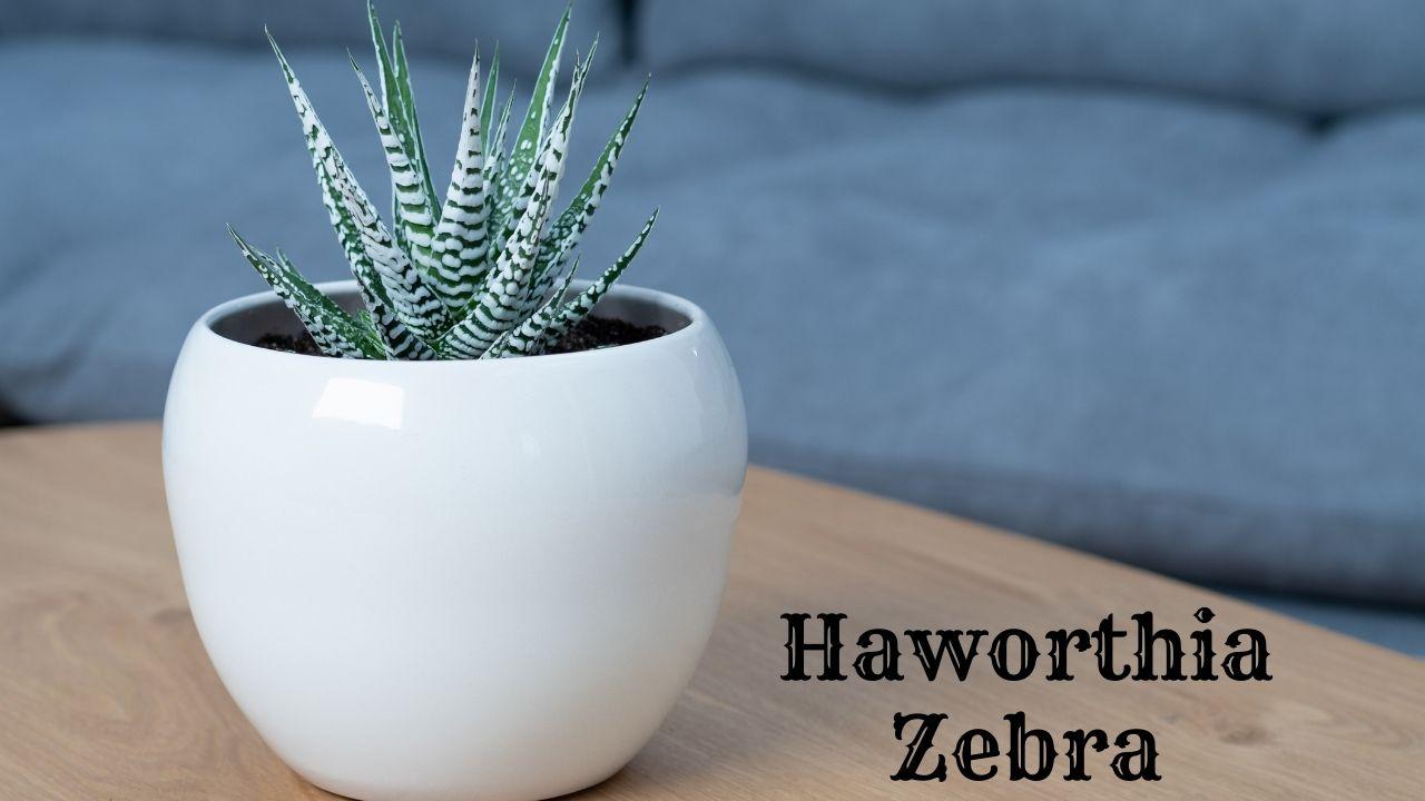 Haworthia Zebra
