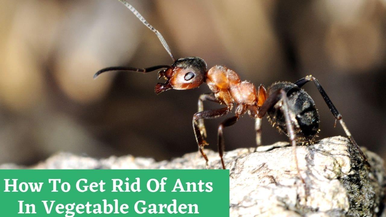 How To Get Rid Of Ants In Vegetable Garden