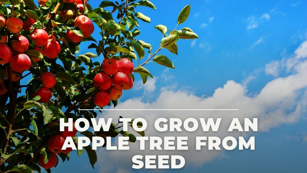 How To Grow An Apple Tree From Seed