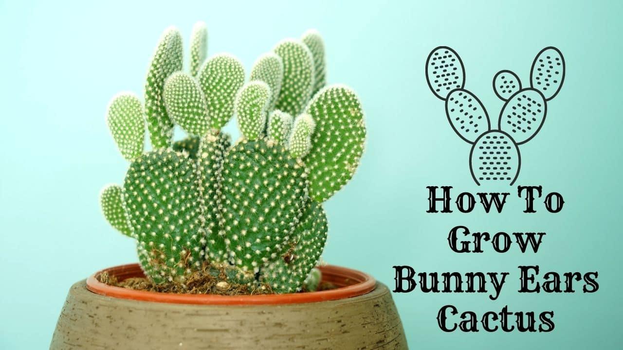 How To Grow Bunny Ears Cactus 2