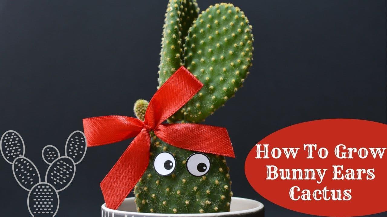 How To Grow Bunny Ears Cactus
