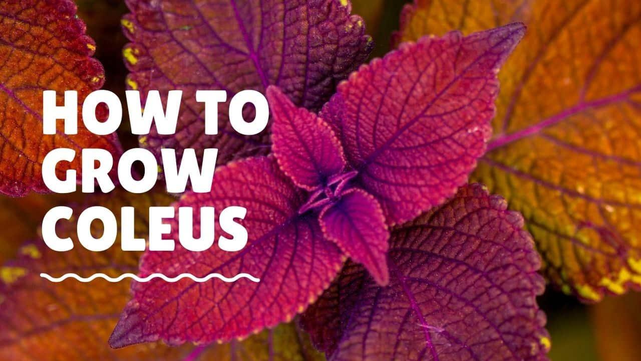 How To Grow Coleus