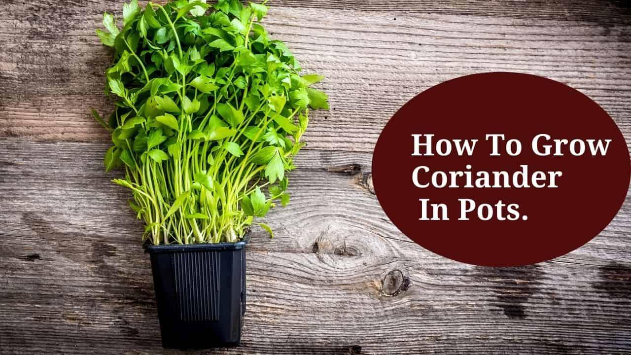 How To Grow Coriander In Pots