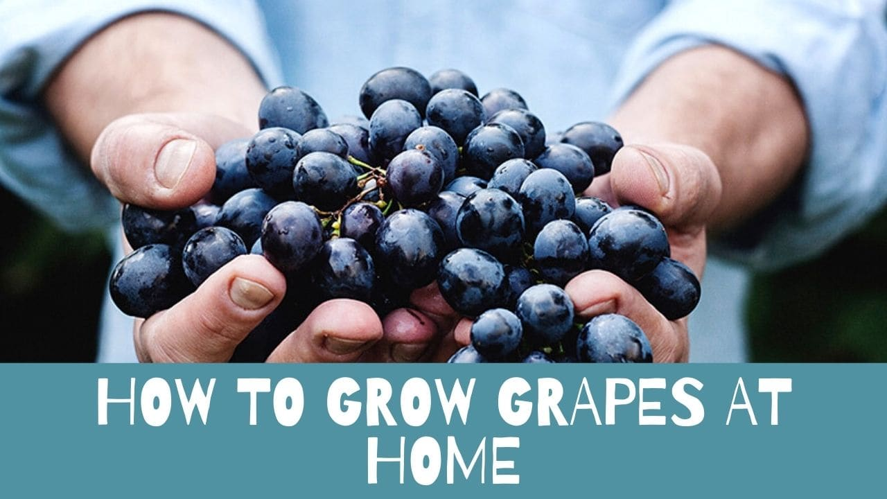 To Grow Grapes At Home
