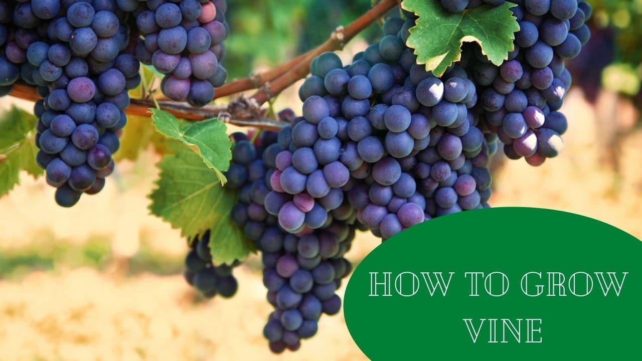 How To Grow Vine