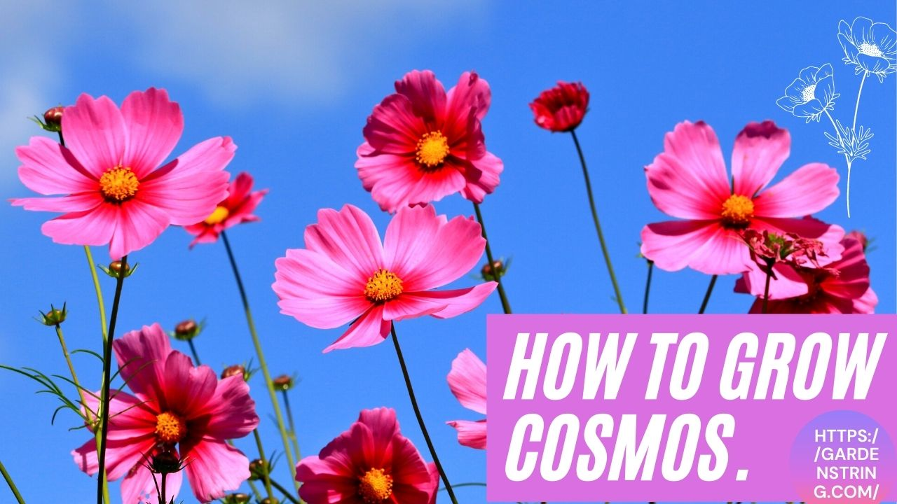 How to Grow Cosmos.