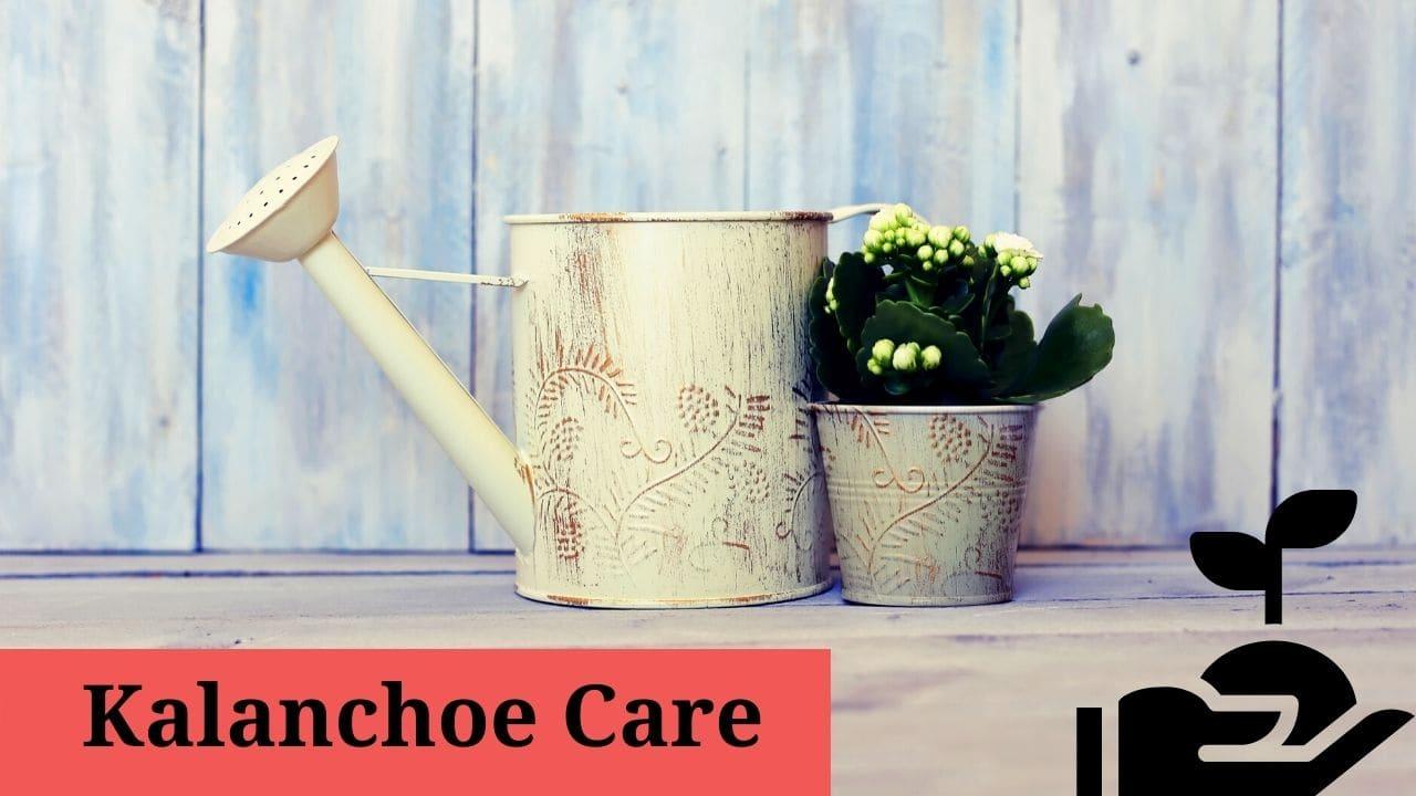 Kalanchoe Care
