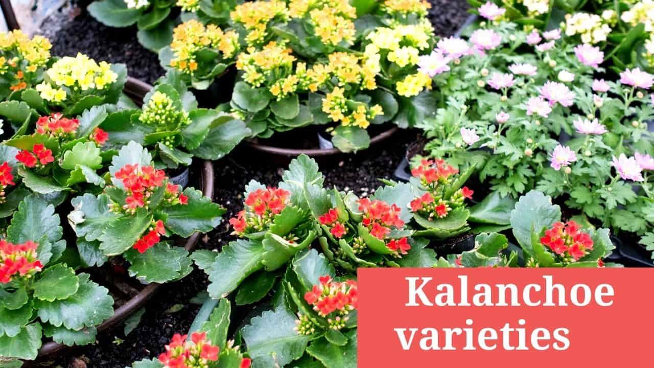 Kalanchoe varieties