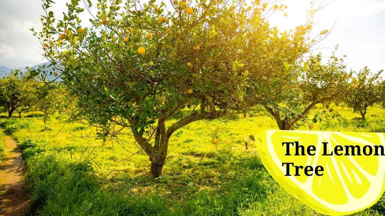 Planting The Lemon Tree