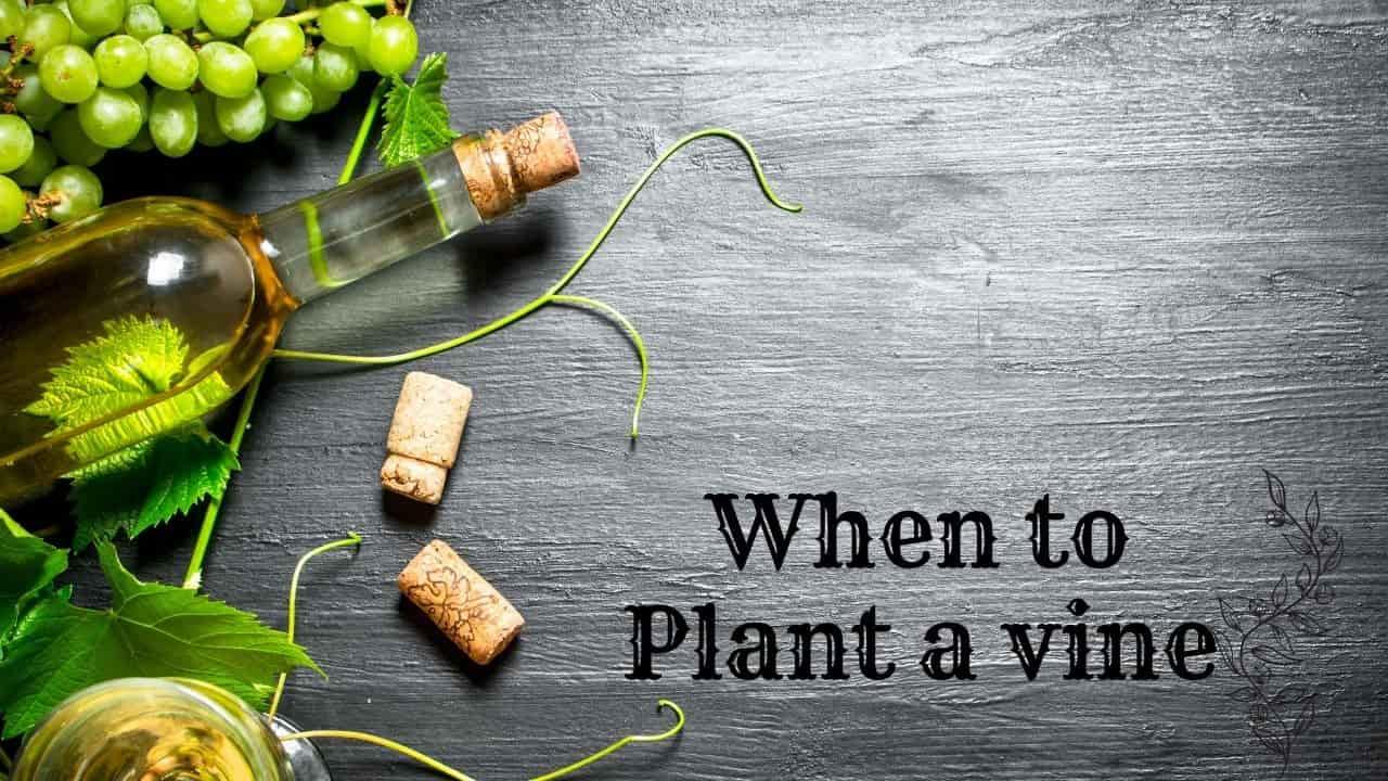 When to Plant a vine
