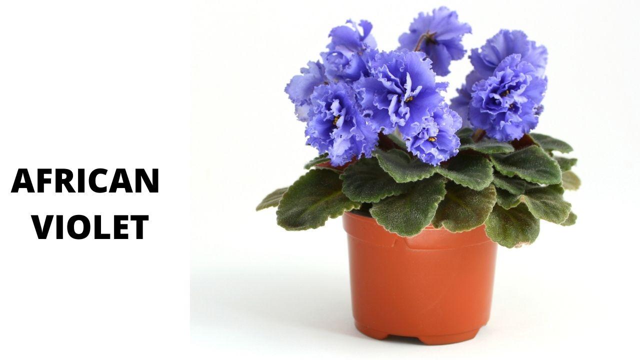 african violate Best 7 Flowering Plants for Indoors